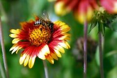 kwiat pszczoły Zdjęcie Stock