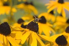 kwiat pszczoły Obrazy Royalty Free