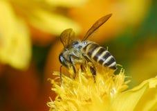 kwiat pszczoły Obrazy Stock