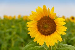 kwiat pszczo?y pola centralnego lata p zdjęcie royalty free
