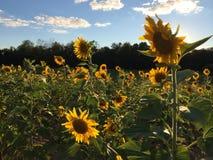 kwiat pszczo?y pola centralnego lata p zdjęcia royalty free