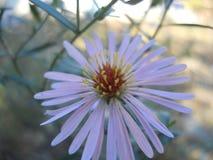 Kwiat purpur jesień zdjęcia royalty free
