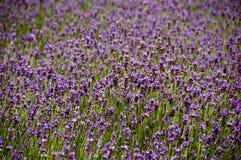 kwiat purpury Obraz Stock
