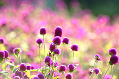 kwiat purpury zdjęcie royalty free
