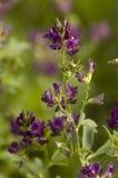 kwiat purpury Obrazy Stock