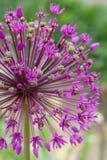 kwiat purpury Zdjęcie Stock