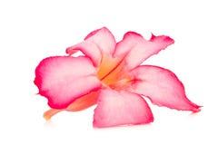 kwiat pustynia wzrastał ro różowego bigononia odizolowywającego na białym backgrou Fotografia Stock