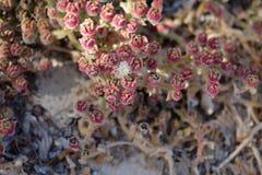 Kwiat pustynni sukulenty Zdjęcia Stock
