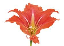 Kwiat różowy amarylek fotografia royalty free