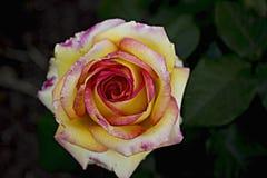 Kwiat róża obraz stock