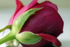 kwiat różową różę Obraz Royalty Free