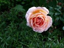kwiat różową różę Zdjęcie Stock