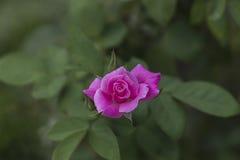 kwiat różową różę Obrazy Stock
