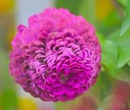 Kwiat różowa piłka Obrazy Royalty Free