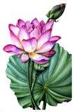 Kwiat różowy Lotus i liść Zdjęcie Stock