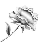Kwiat róży nakreślenie Fotografia Stock
