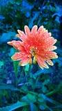 Kwiat rany fotografia stock