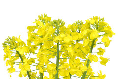 Kwiat rapeseed obraz royalty free