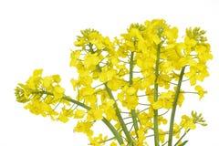 Kwiat rapeseed, Brassica napus Fotografia Stock