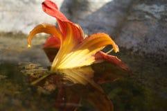 Kwiat Refeflections Fotografia Royalty Free