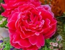 Kwiat rewolucjonistka zdjęcia royalty free