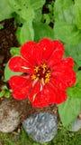 Kwiat rewolucjonistka Fotografia Stock