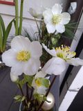 kwiat rośliny ciemiernik obraz stock