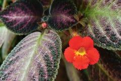Kwiat rośliny koloru piękny pomarańczowy kwiat (płomień fiołkowa roślina) Zdjęcia Stock