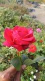 kwiat & x28; rose& x29; obraz royalty free