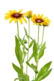 Kwiat Rudbeckia hirta Fotografia Royalty Free