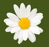 kwiat rumianek Fotografia Royalty Free