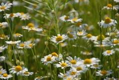 kwiat rumianek kwiaty Obrazy Stock