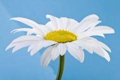 kwiat rumianku Obrazy Royalty Free
