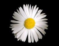 kwiat rumianku Obraz Royalty Free