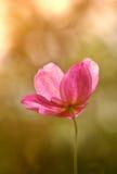 kwiat słońca obrazy stock