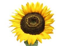 kwiat słońce Obrazy Royalty Free