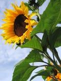 kwiat słońce Obraz Royalty Free
