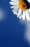 kwiat słońce Fotografia Stock