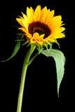 kwiat słońce Zdjęcie Royalty Free