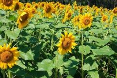 Kwiat słońce, Helianthus Zdjęcia Royalty Free