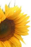 kwiat słonecznik Zdjęcia Royalty Free