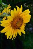 Kwiat słonecznikowy zakończenie zdjęcie royalty free