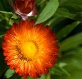 kwiat słoma zdjęcie royalty free