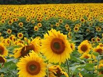 kwiat słoneczniki ornamentu polowe Zdjęcie Stock