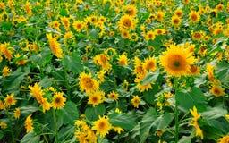 kwiat słoneczniki ornamentu polowe Obrazy Stock