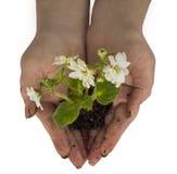 kwiat sadzenie Obrazy Royalty Free
