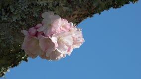 kwiat Sakura obrazy stock