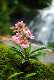 Kwiat siklawa Obrazy Stock
