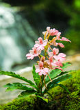 Kwiat siklawa Zdjęcia Stock