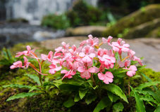 Kwiat siklawa Fotografia Royalty Free